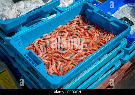 Denia rote Garnelen Frisch aus dem Boot und in Kisten an der Mole im Hafen von Denia, Spanien. - Stockfoto