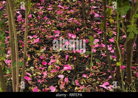 Nahaufnahme der gefallenen Rosa Rosa-rosa Blütenblätter auf den Boden unter Rosenbusch in Grenzregionen - Stockfoto
