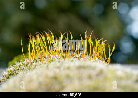 Gemeinsame Moss Tortula muralis - Stockfoto
