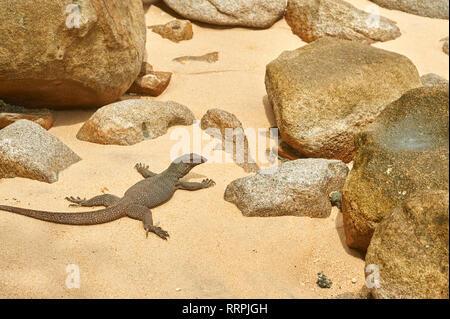 Kleine varan in der Mitte der Felsen der Strand Panuba auf Tioman Insel, Malaysia - Stockfoto