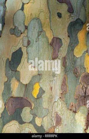 In der Nähe der Rinde eines Platanus hispanica Baum - Stockfoto