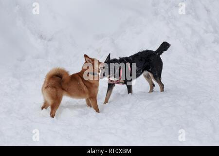 Cute shiba inu und Schwarz mongrel Spielen auf dem weißen Schnee. Heimtiere. - Stockfoto