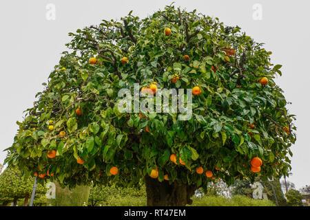 Getrimmt Orange Bäume in Gärten des Alcazar, Cordoba, Spanien. - Stockfoto