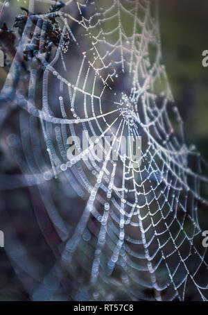 Spinnen web am frühen Morgen an einem kühlen aber hellen späten Winter Tag. Die feuchte Tau Tropfen können gesehen werden, klammerte sich an den schwierigen, heiklen Silber web catc - Stockfoto