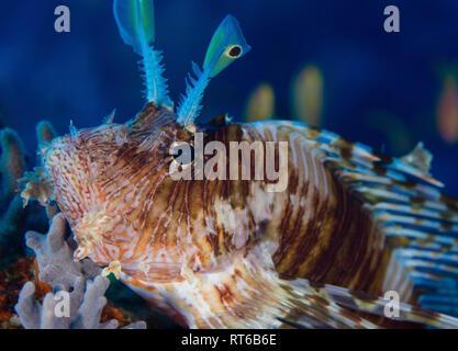 Feuerfische, Rotes Meer, Ägypten. - Stockfoto