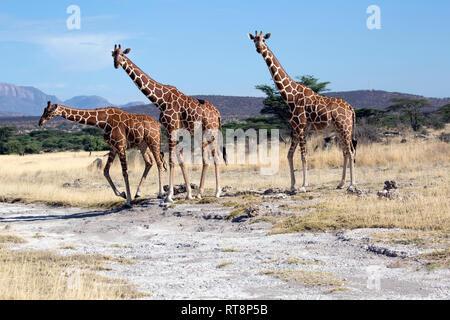 Drei Netzartigen oder Somalischen giraffe Giraffa Camelopardalis reticulata,, in semi-ariden Grünland, Buffalo Springs National Reserve, Kenia - Stockfoto
