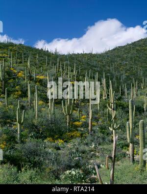 USA, Arizona, Coronado National Forest, cumulus Wolken über Stand von Saguaro Kakteen mit brittlebush im Frühjahr blühen, Santa Catalina Mountains. - Stockfoto