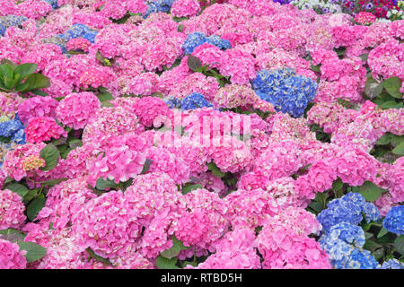 Hydrangea Feld in voller Blüte, Ligurien, Italien - Stockfoto