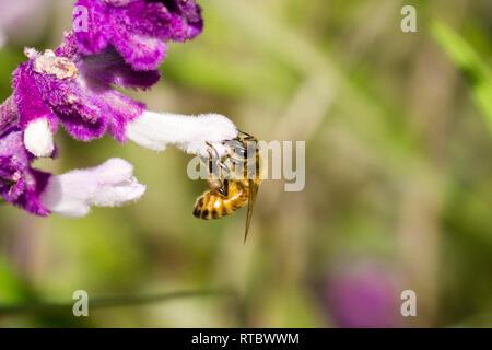 Biene bestäubt eine mexikanische Salbei Blüte, Kalifornien - Stockfoto