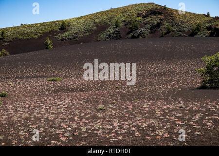 Wilde Blumen wachsen auf Vulkangestein, Krater des Mondes, Idaho - Stockfoto