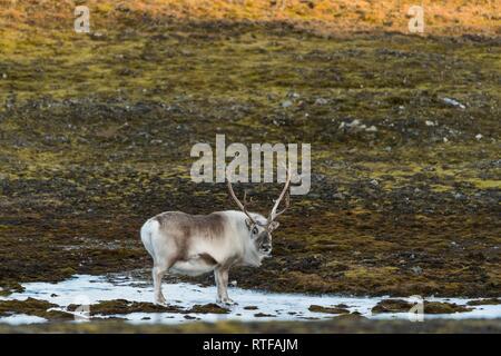 Svalbard-Rentiere (Rangifer Tarandus Platyrhynchus), Spitzbergen, Svalbard, Norwegen - Stockfoto