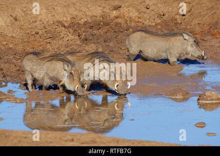 Gemeinsame Warzenschweine (Phacochoerus africanus), drei Erwachsene in schlammigen Wasser, Trinken an einem Wasserloch, Addo Elephant National Park - Stockfoto