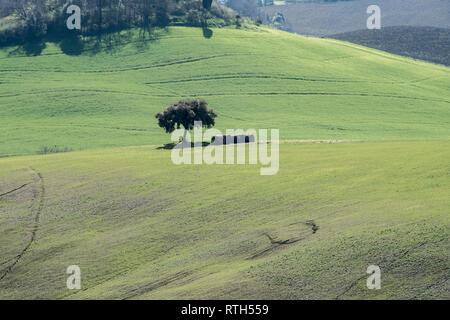 Einsamer Baum in den grünen Feldern der toskanischen Landschaft - Stockfoto