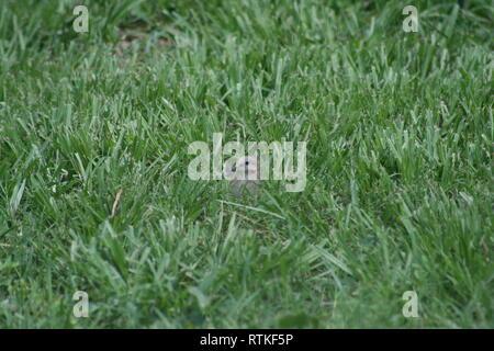 Taube ausblenden mit Kopf oben im grünen Gras. - Stockfoto