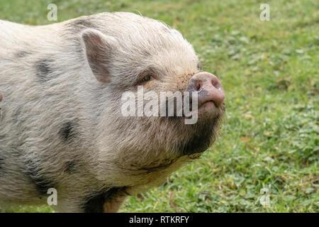 Issaquah, Washington, USA. Julianna mini Schwein mit seine Schnauze in die Luft. (PR) - Stockfoto