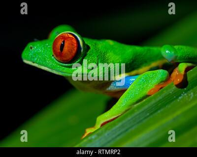 Red Eyed Tree Frog auf Blatt