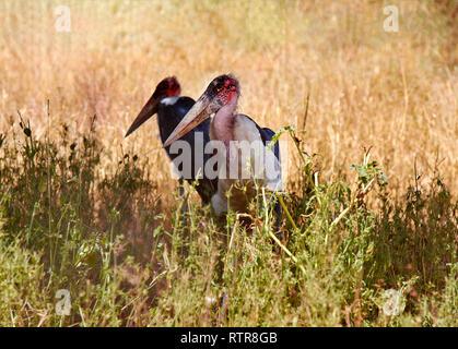Blick auf die beiden ständigen Marabu Vögel mit einem großen Schnabel. Safari Tsavo Nationalpark in Kenia, Afrika. - Stockfoto