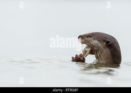 Nahaufnahme von Glatt beschichtet Otter essen frisch gefangenen Fisch im Meer - Stockfoto