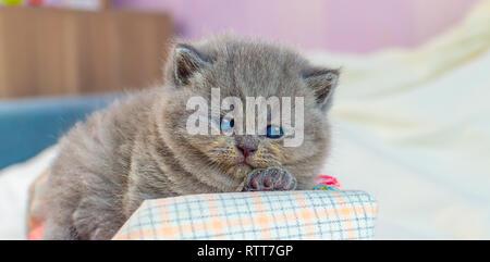 Kleines Kätzchen spielt auf igrushechno Sofa, ein Porträt von einem grauen Kätzchen, selektiver Fokus - Stockfoto
