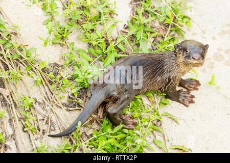 Glatte beschichtete Otter pup dreht sich kurz in die Kamera zu schauen, während auf konkrete River Bank eingezogen werden - Stockfoto