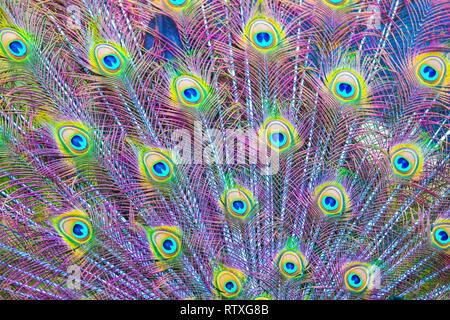 Indischen Pfauen zeigen Es ist schön gefärbten Gefieder. - Stockfoto