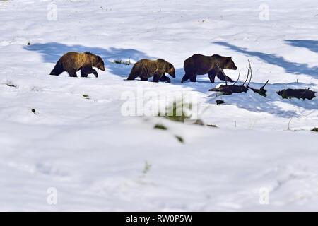 """Drei grizzly Bären, """"Ursus arctos"""", zu Fuß in einer Linie auf einem Schnee gefüllt Öffnung in Thier winter Cadomin Lebensraum in der Nähe von Alberta, Kanada. - Stockfoto"""