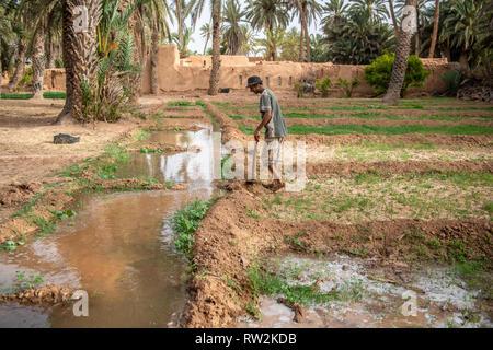 Berber Mann hält Hoe steht am Rand des Wassers für die Bewässerung von Luzerne (Medicago sativa) Feld, Tighmert Oase, Marokko - Stockfoto