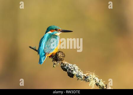 Männliche Eisvogel (Alcedo atthis) auf einem Zweig mit dem Rücken zu uns gehockt - Stockfoto