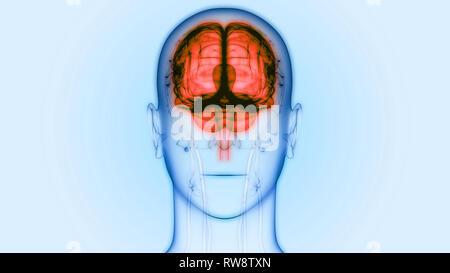 Menschliche Zentralnervensystem Gehirn Anaomy - Stockfoto