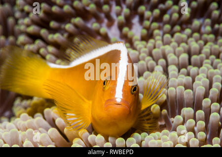 Orange skunk clownfish oder Orange anemonenfischen Amphiprion sandaracinos []. Puerto Galera, Philippinen. - Stockfoto