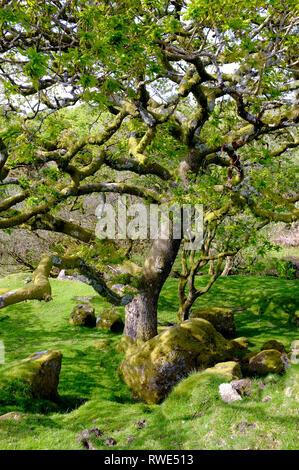 Verdrehter alter Baum und moosbedeckte Felsbrocken am Harford Moor Gate auf Dartmoor, Devon, Großbritannien Stockfoto