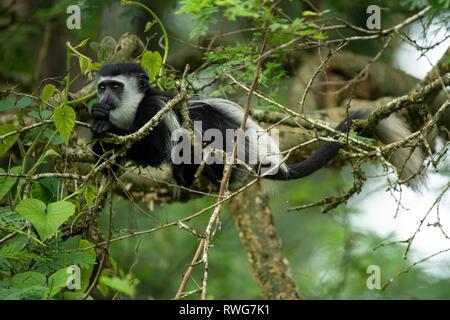 Schwarze und weiße Stummelaffen, Colobus guereza, Kibale Forest Nationalpark, Uganda - Stockfoto