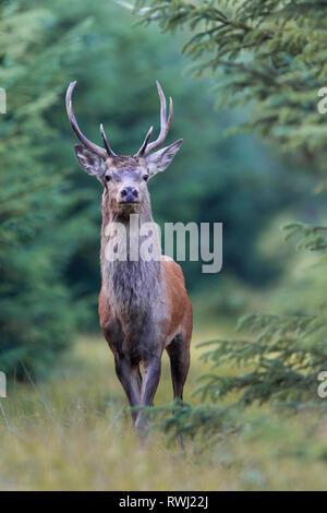 Red Deer (Cervus elaphus). Jungen Hirsch steht am Waldrand. Dänemark - Stockfoto