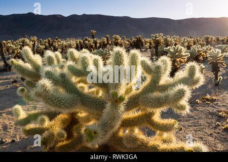 Jumping cholla Cactus, Opuntia fulgida, Cholla Cactus Garden, Joshua Tree National Park, Kalifornien, USA - Stockfoto