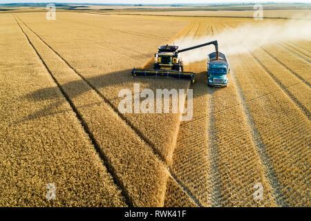 Luftaufnahme von der Ernte der goldene Weizen Feld kombinieren Füllen eines Lkw; Beiseker, Alberta, Kanada - Stockfoto