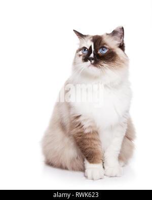 Langhaarige Ragdoll Katze, sitzend auf Weiß isoliert - Stockfoto