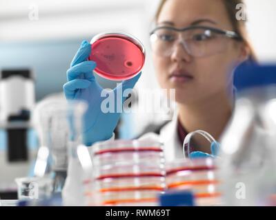 Wissenschaftler untersuchen die Mikrobiologische Kulturen in Petrischalen in Labor - Stockfoto