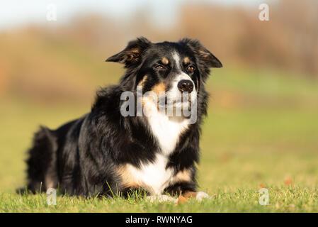 Border Collie Portrait. Hund liegt auf einer Wiese im Herbst - Stockfoto