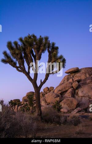 Joshua Bäume, Yucca Palme, Yucca, Yucca Palme, Yucca Buergeri, Joshua Tree National Park, Kalifornien, USA - Stockfoto