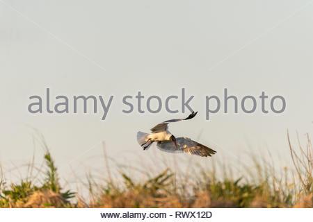 Laughing Gull in der unkräuter über Dune bei Plymouth Strand - Stockfoto