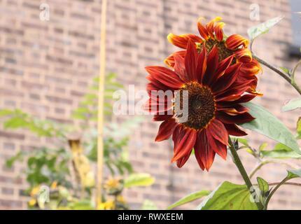 Sonnenblume Helianthus Annuus Claret gegen soft Pale Hintergrund - Stockfoto