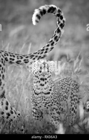 Leopard cub im Morgenlicht in Namibia. - Stockfoto