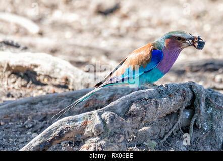 In der Nähe von Lilac-breasted Roller essen Insekt, während das Hocken auf Wurzeln - Stockfoto