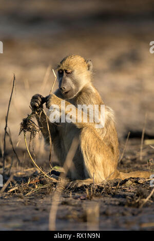 Pavian in goldenen Nachmittag Licht, Botswana. - Stockfoto
