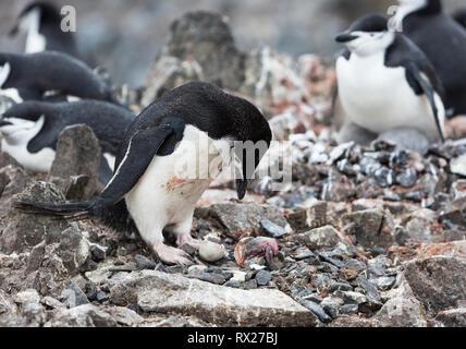 Ein zügelpinguin (Pygoscelis antarcticus) trauert um es neu Baby durch eine verschneite Sheethbill im Half Moon Island getötet geschlüpft. Livingston Island, Sout - Stockfoto