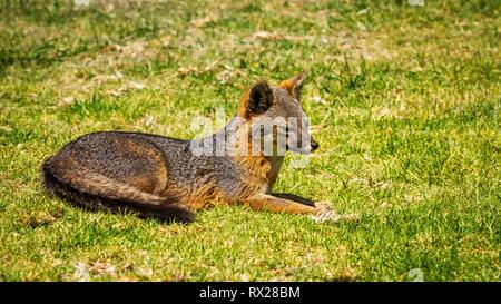 Insel Fox (Urocyon littoralis), Santa Cruz Insel, Channel Islands National Park, Kalifornien, USA - Stockfoto