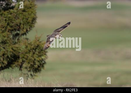 Jagt durch niedrige über den Boden zu fliegen, oft schweben vor dem Abwurf auf Beute. Angeblich findet Beute meistens durch Sound, sondern auch vom Sehen. Mai Jagd nach Tag, - Stockfoto