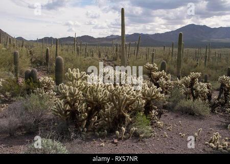 Teddybär Cholla (Cylindropuntia Bigelovii), Bekanntmachung fallen Stämme, Wurzeln unter der Kaktus, eine klassische Form der Reproduktion. Saguaro National Park, Tucson, AZ - Stockfoto