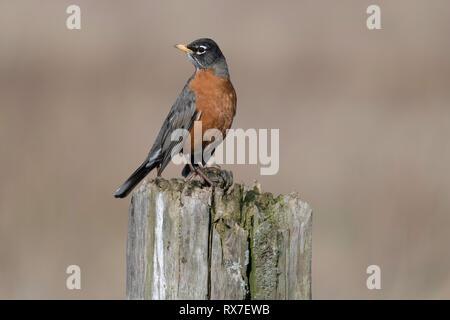 Die amerikanische Robin (Turdus migratorius) ist ein wandernder Songbird der wahren Thrush Gattung und Turdidae, der breiteren Thrush Familie - Stockfoto