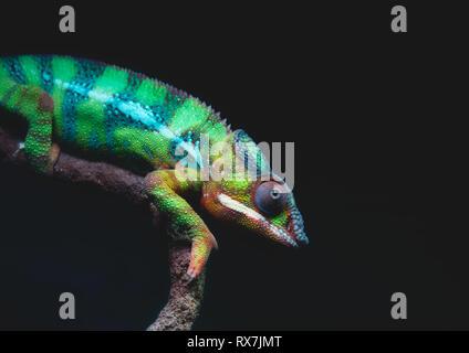 Nahaufnahme Porträt einer bunten Panther chameleon (Furcifer pardalis) ruht auf einem Ast gegen einen dunklen Hintergrund